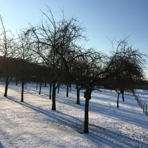 apple trees in winter in Gronsveld